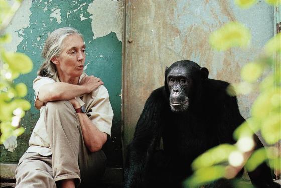 macaco jane goodall